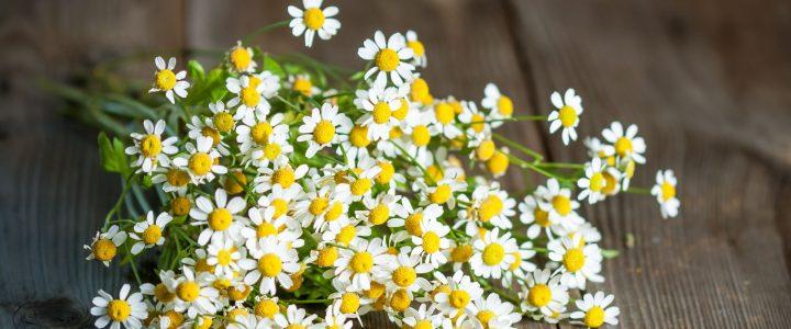 Az őszi margitvirág külsődleges felhasználása