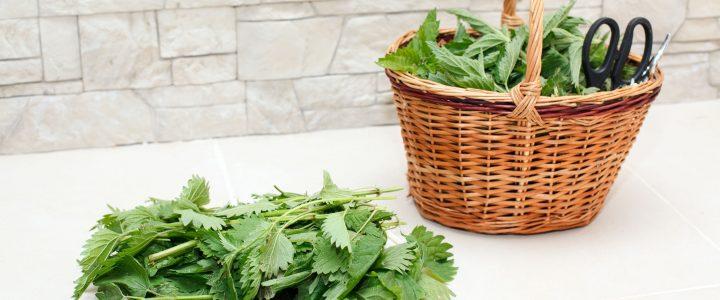 Csalán a konyhában: gyűjtés és receptek