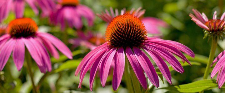 Nátha és megfázás: kéznél a bíbor kasvirág!