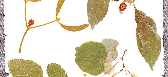 Milyen gyógynövényekkel érdemes együtt alkalmazni a galagonyát (a szív védelmére)?